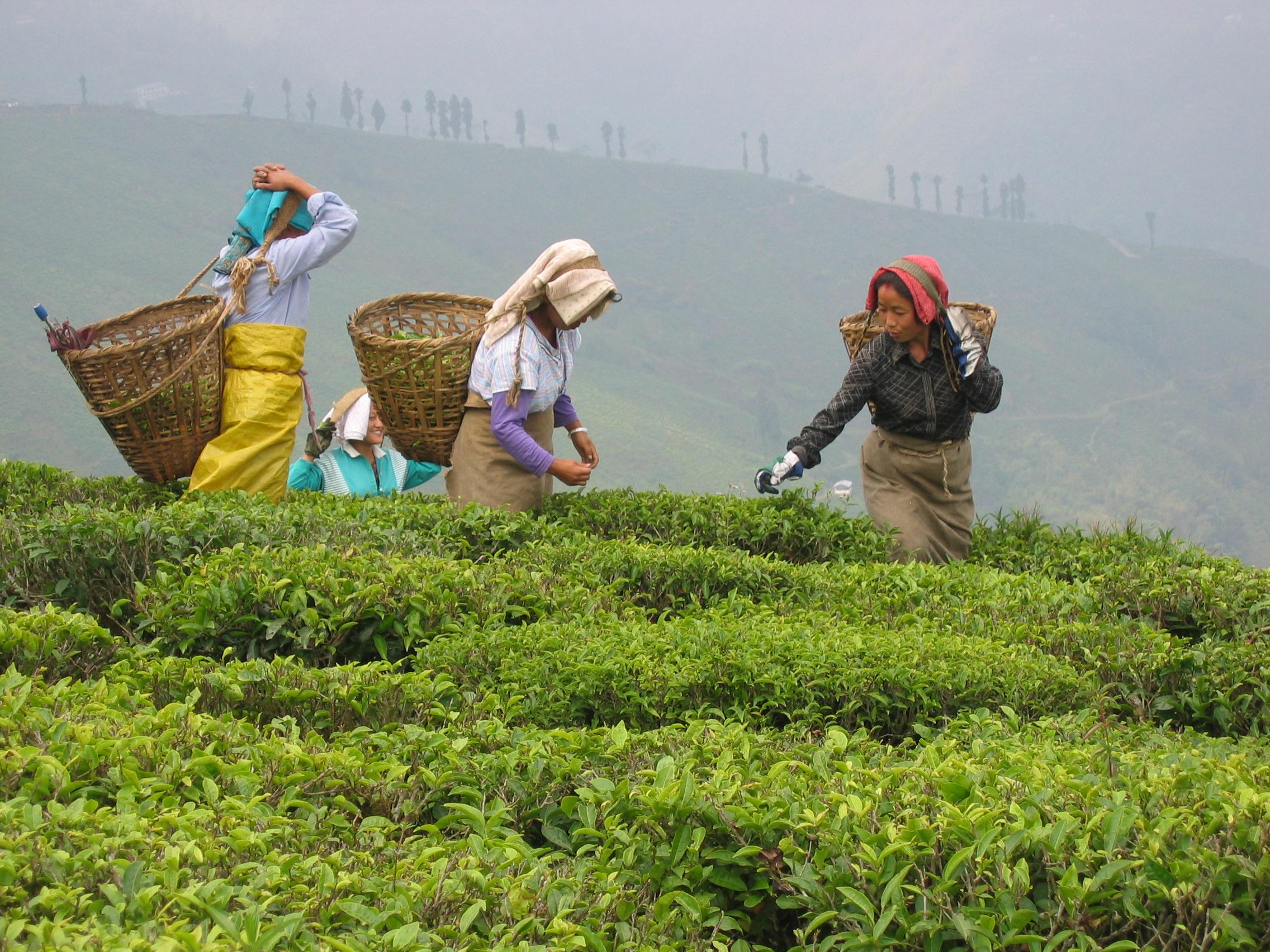 Tea requires delicate care