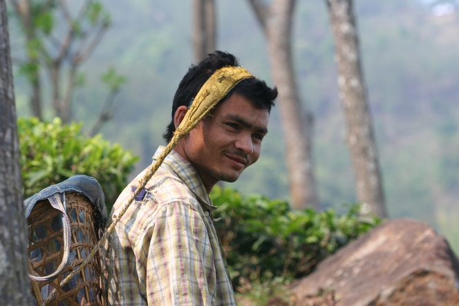 Tea plucking by men in Nepal