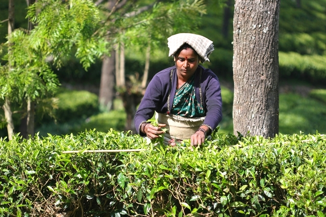 A clever trick to ensure a quality tea harvest