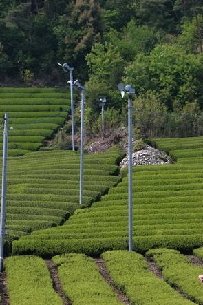 Des champs de thé sous ventilateurs