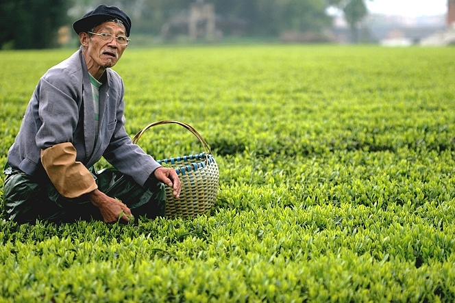 Tea pluckers like wearing a cloth tube around their arm
