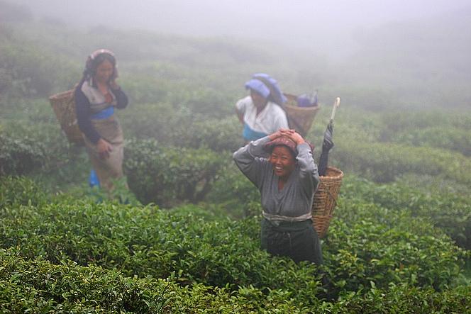 Tea pluckers in the mist of Badamtam