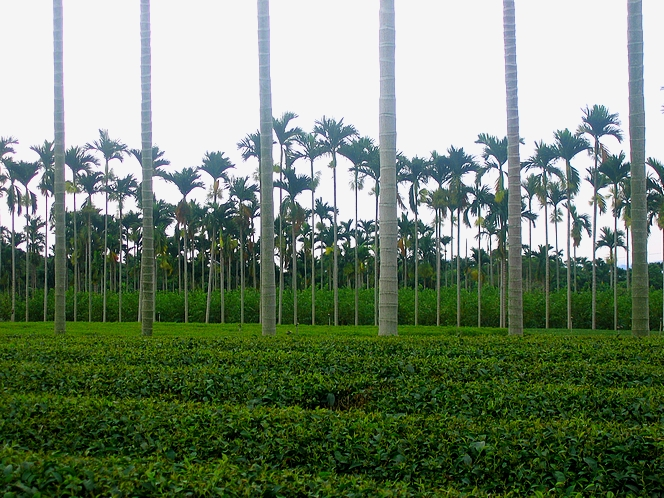 Under the palm trees of Nantou, Dong Ding tea