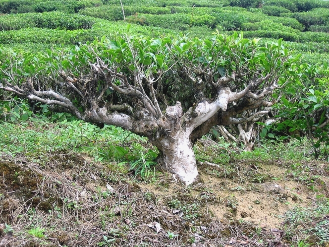 The tea plant looks like a bonsai