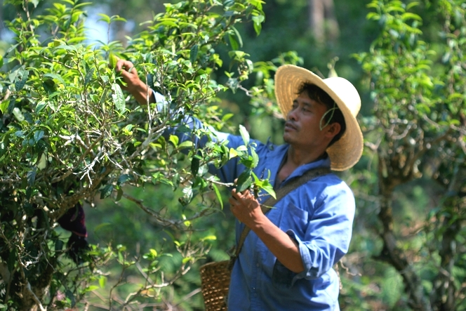 Semi-wild tea plants in Yunnan