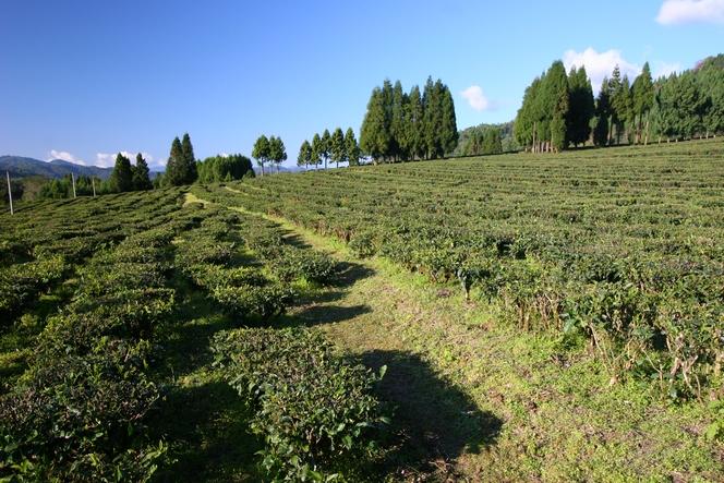 Yunnan also produces green teas