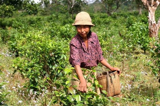 """Bourgeons du Laos"" : a delicious fair-trade tea"