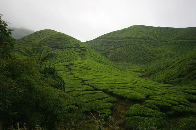 Sungai Palas : the biggest tea plantation in Malaysia