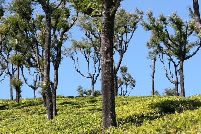 Tea plants under clear sky in Thiashola