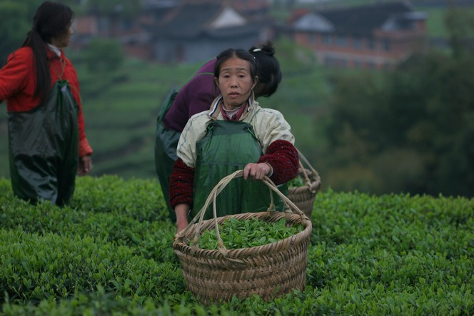 Premium green teas : harvesting has begun