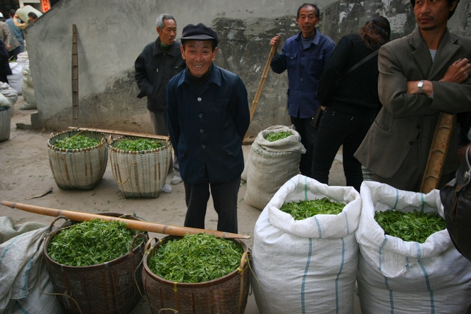 In China, harvesting of premium teas is in full swing