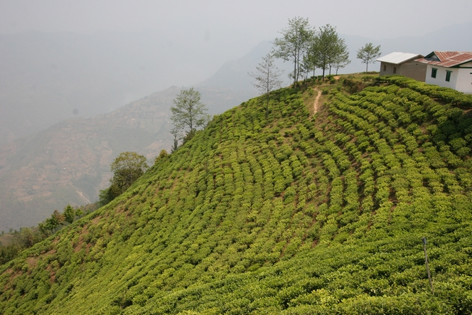 The best teas are often produced from March to May