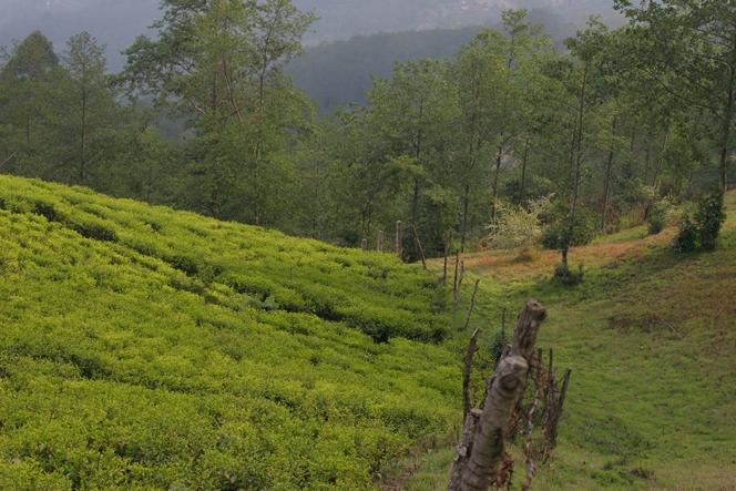 Undisturbed tea trees in the setting sun