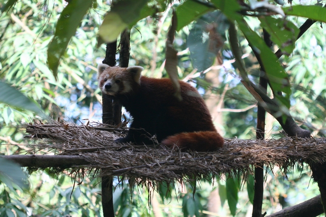 The red panda or firefox, a creature of the Himalayas