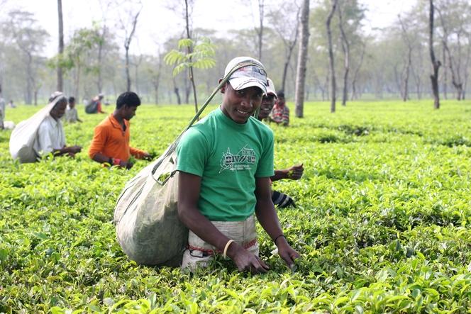 Tea harvesting by the Adivasis in India
