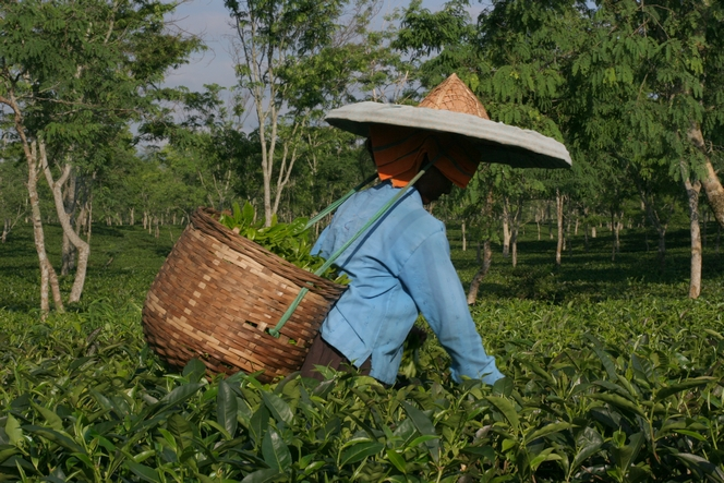 Plucking tea with 35°C and 100% humidity