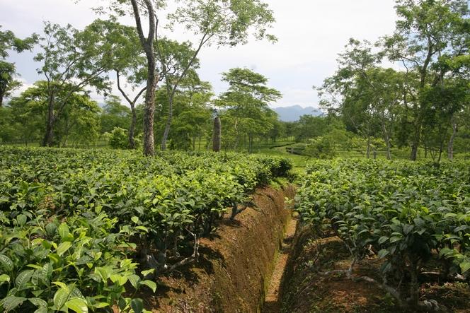 Drains dug into the soil to protect tea plants