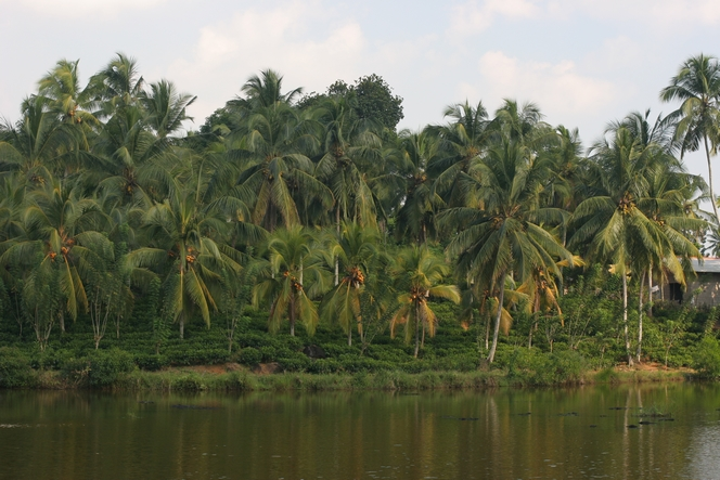 Palm trees giving shade to tea plants