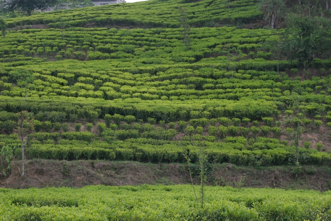 Tea trees growing quite freely in Kuwapani