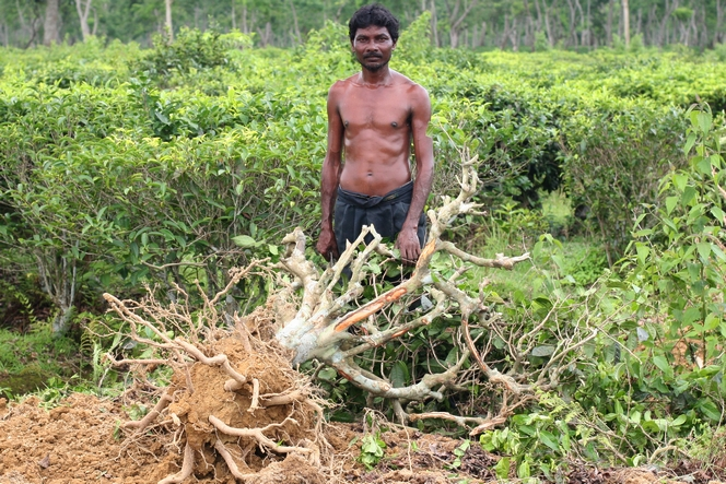 Tea plant just been uprooted in Assam's heat