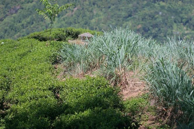 Citronella growing among organic tea plants