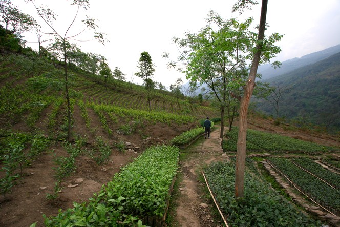Tea fields are also maintained during winter