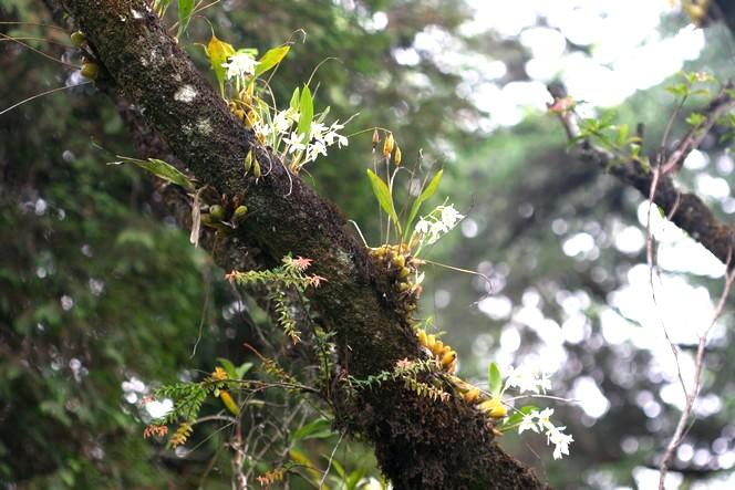 Wild orchids growing around tea plantations