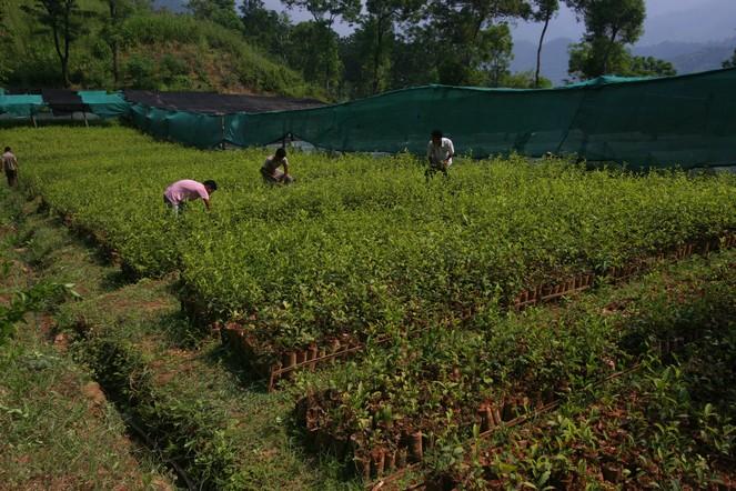 The last autumn teas in Darjeeling