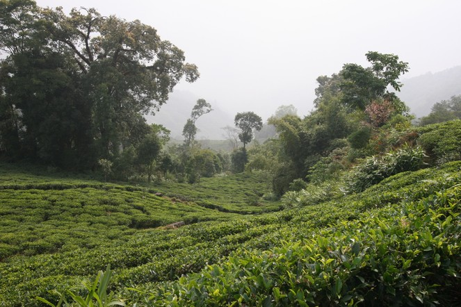 The first flush Darjeelings have started to arrive