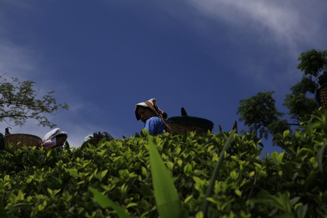 Big blue sky above the tea plants