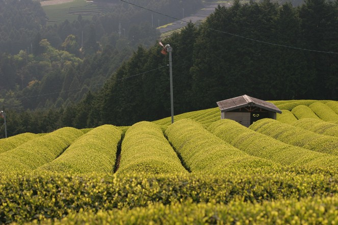 Strange shapes in the Japanese tea fields