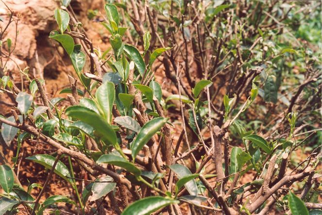 The attention paid to tea plants between autumn and spring