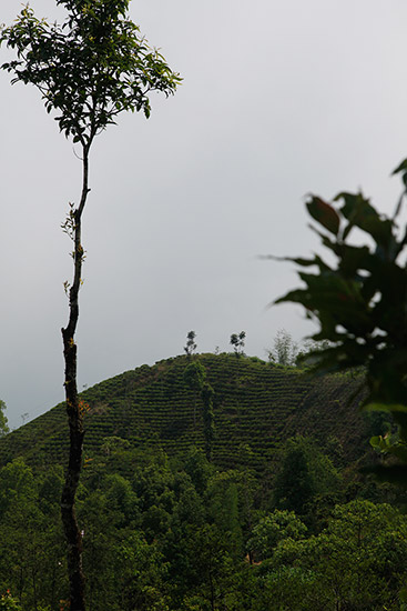 Nepal is leading the way in new teas