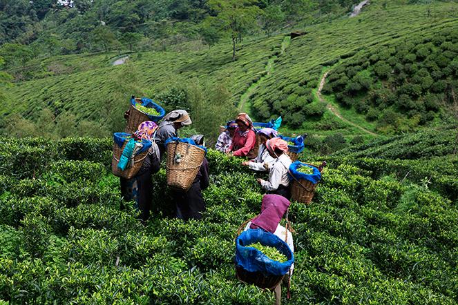 Darjeeling spring harvests
