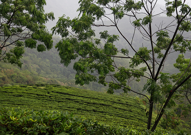 An assessment of the 2015 first-flush Darjeelings