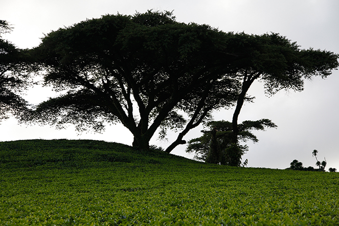 Tea plants shaded by trees