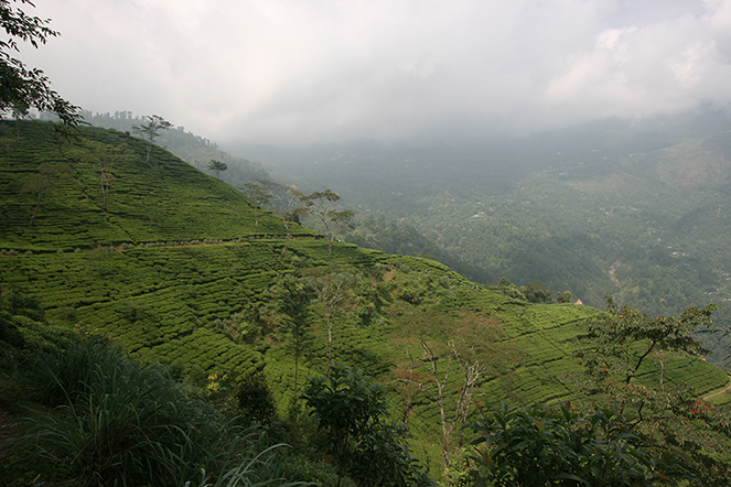 Darjeeling: a tea that should not be bought blindly