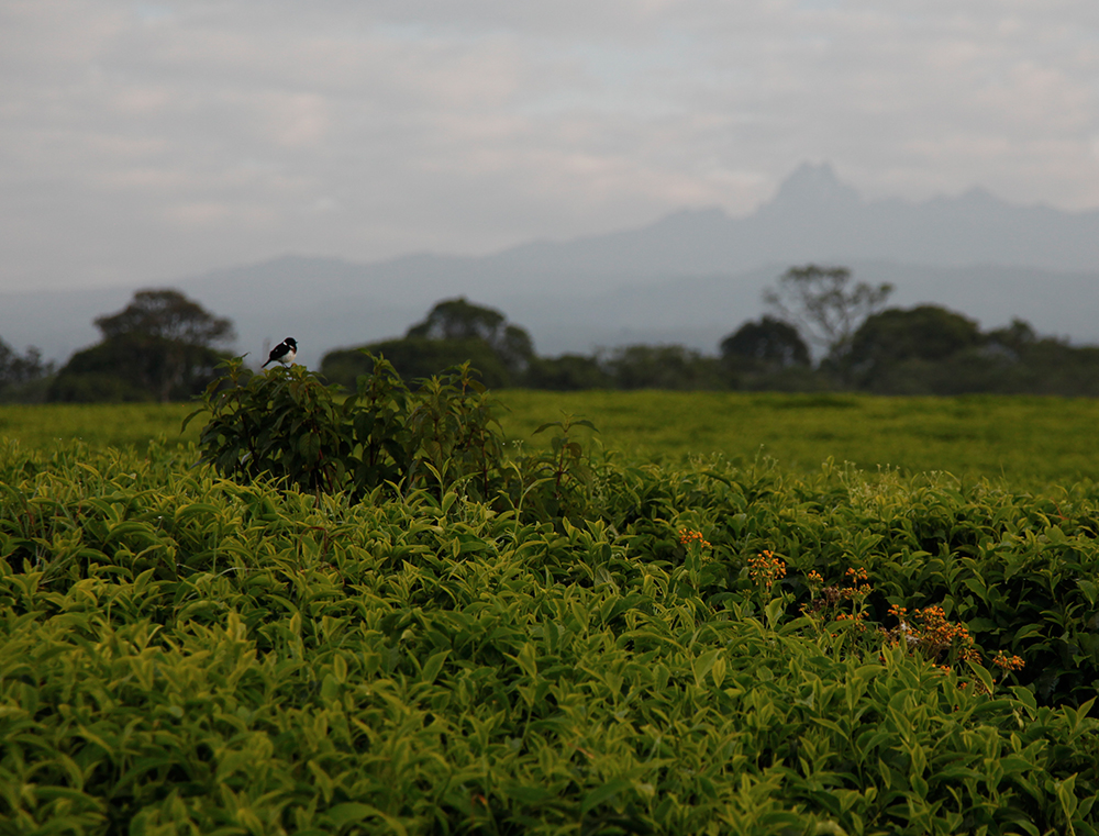 A tea plantation in Kenya