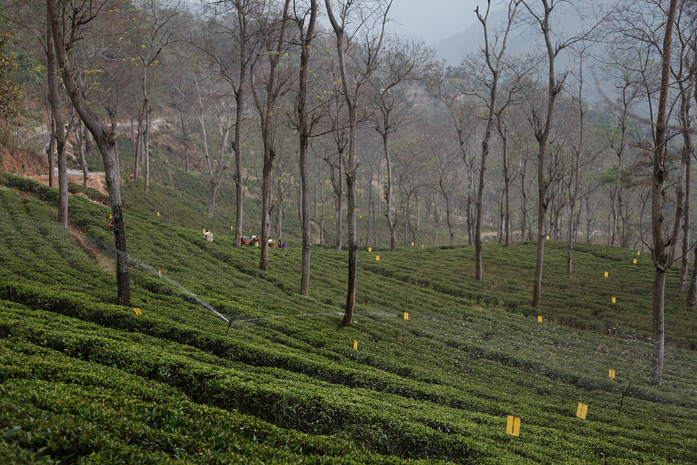 The microclimate of Darjeeling plantations