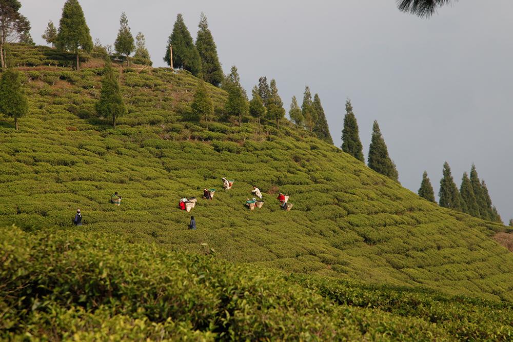 Darjeeling teas and Nepalese teas: two schools