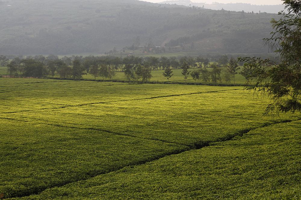 Rwanda: magnificent landscapes, unusual plantations
