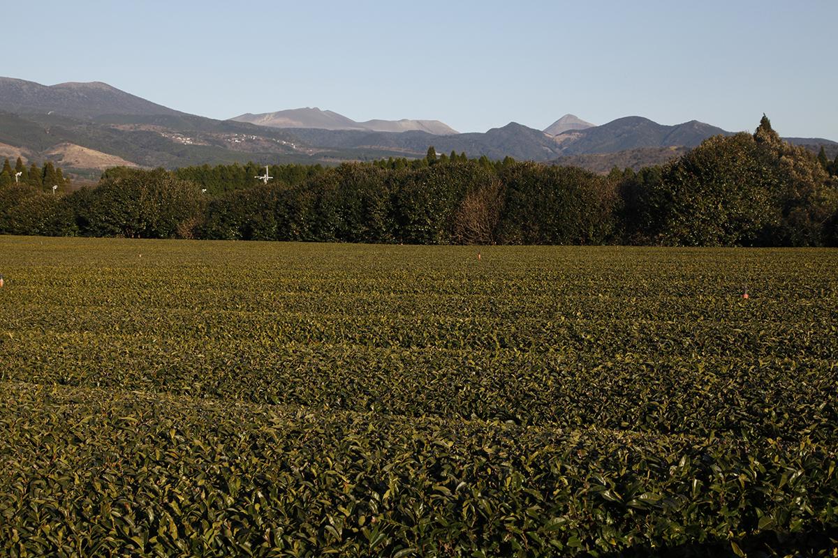 A volcanic plantation