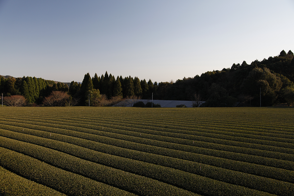 In Japan, tea is harvested three or four times a year