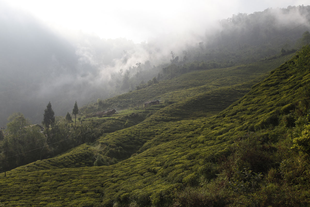 Good Nepalese teas annoy Darjeeling producers