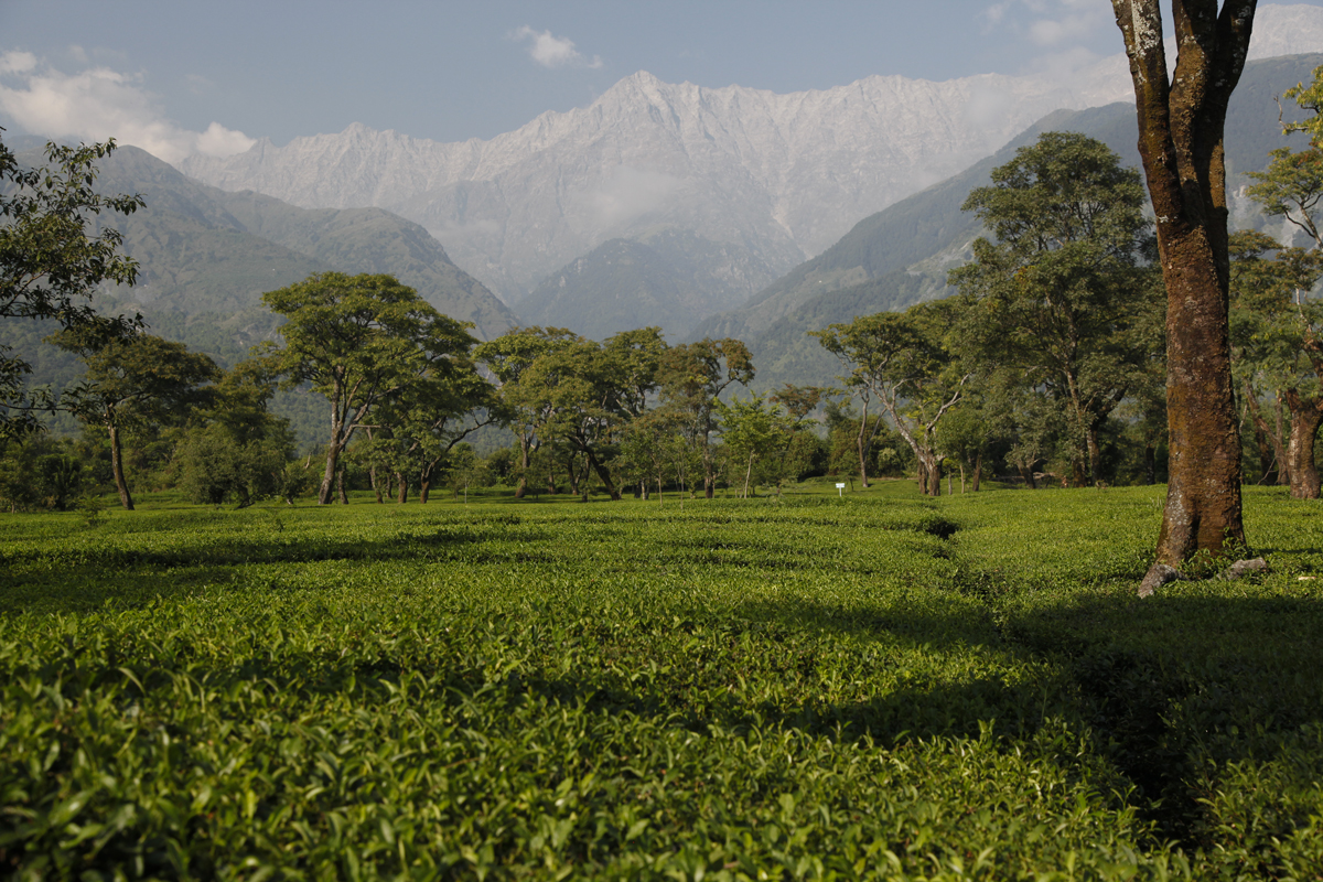 Fine teas in the foothills of the Dhauladhar Mountains