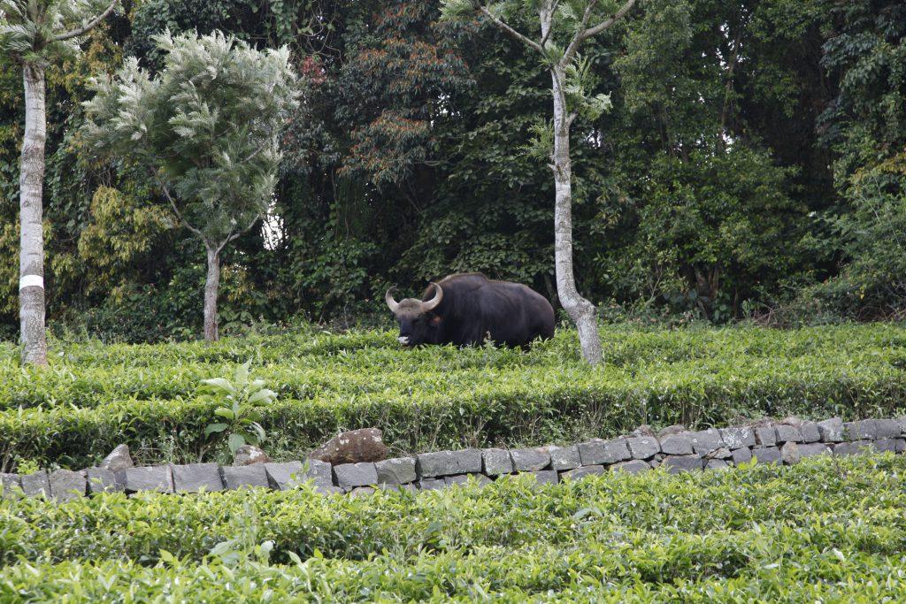 The gaur: an effective weeder