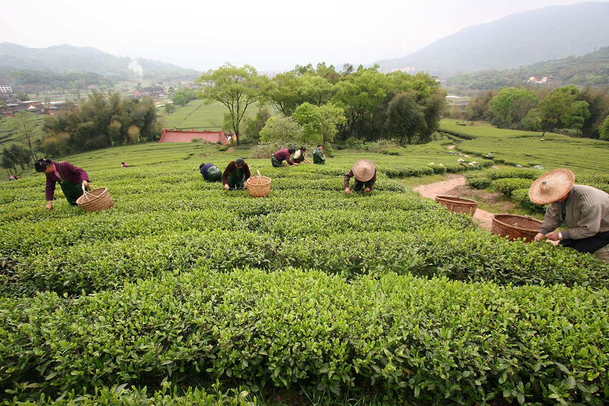 About the selection of Chinese new-season green teas