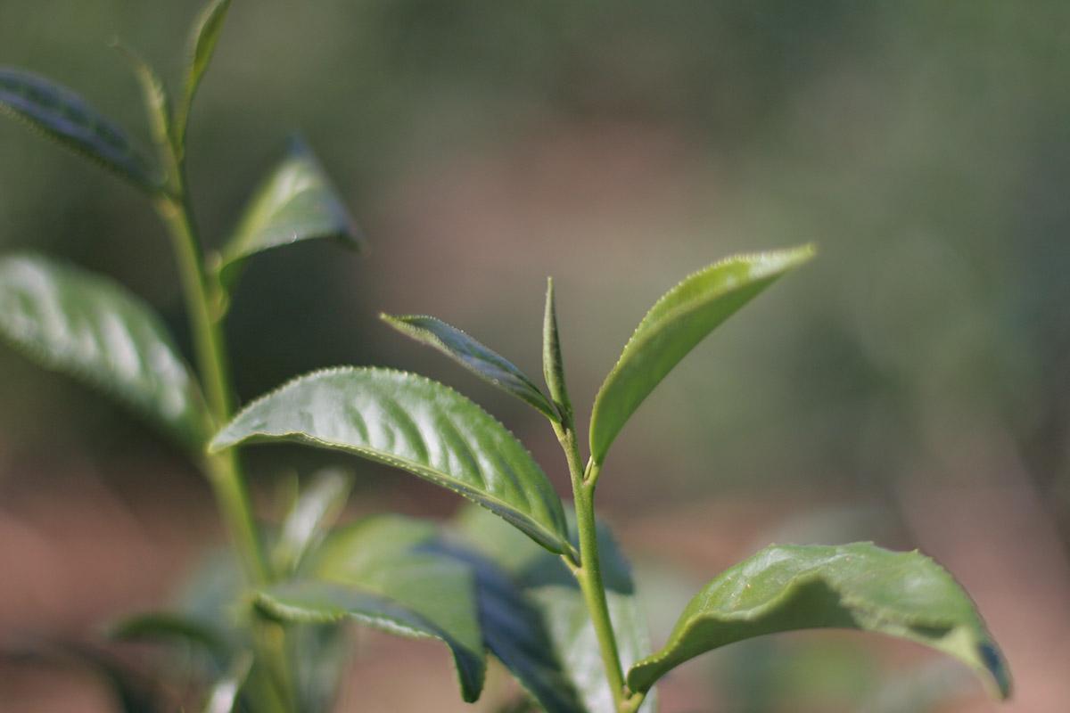 The tea plant reawakens