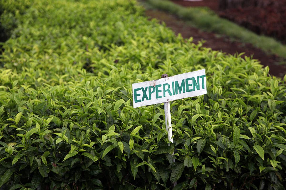 Stronger, more robust tea plants