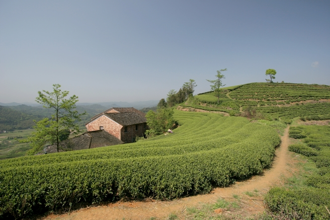 Rows of tea plants in Fuding